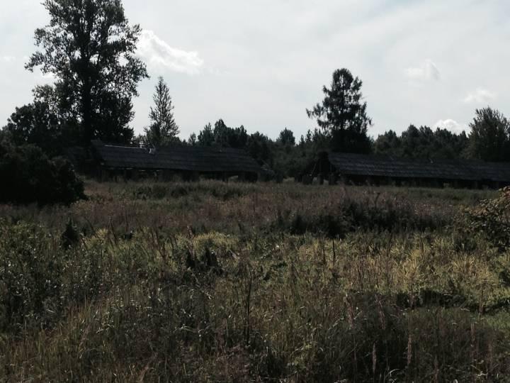 Еще жива одна лиственница из парка пана Ренгартена